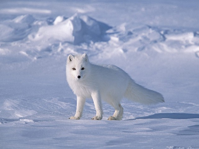 Tundra Arctic Fox In Summer Various Facts A...