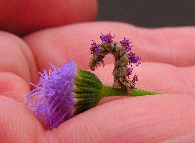 purple-inchworm