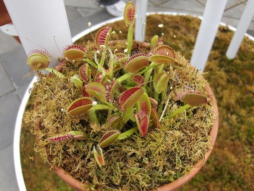 venus-fly-trap