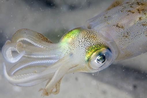white-squid