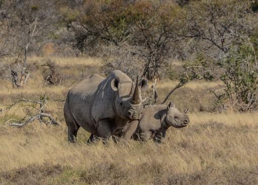 black-rhino