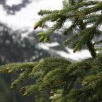 Coniferous Forests: Location, Temperature, Precipitation, Plants and Animals