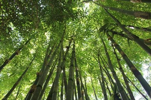 bamboo-trees