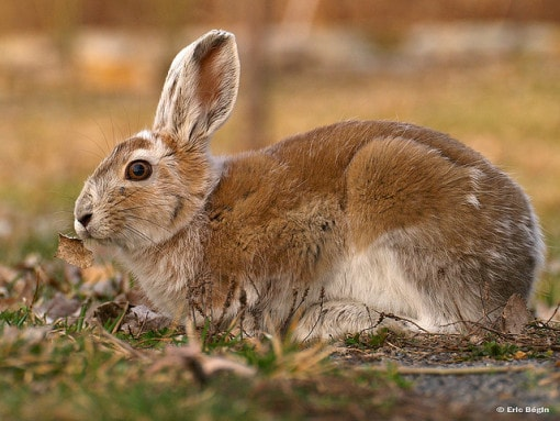 snowshoe-rabbit