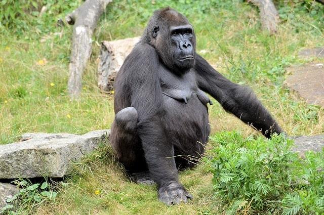 gorilla-monkey-wildlife-primate
