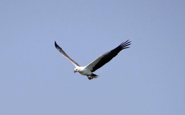 sea-eagle-eagle-white-bellied
