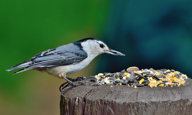 nuthatch-white-breasted-nuthatch