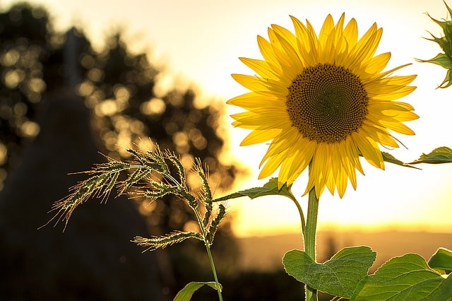 sunflower-sun-summer-yellow-nature-green-energy