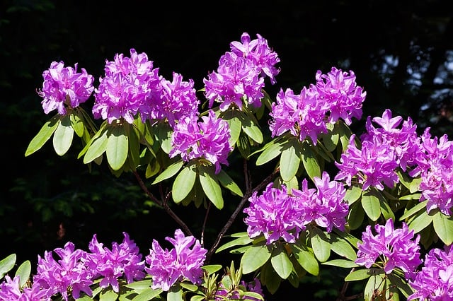 rhododendron-traub-notes-doldentraub