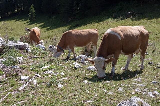 beef-jungrind-calf-alm-bell-overgrazing