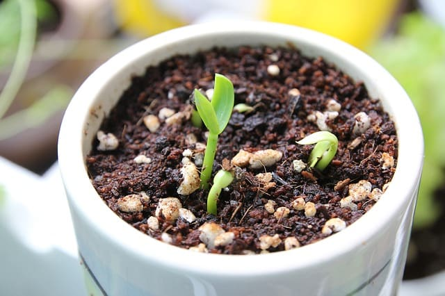 sprout-spinach-indian-spinach-organic-agriculture