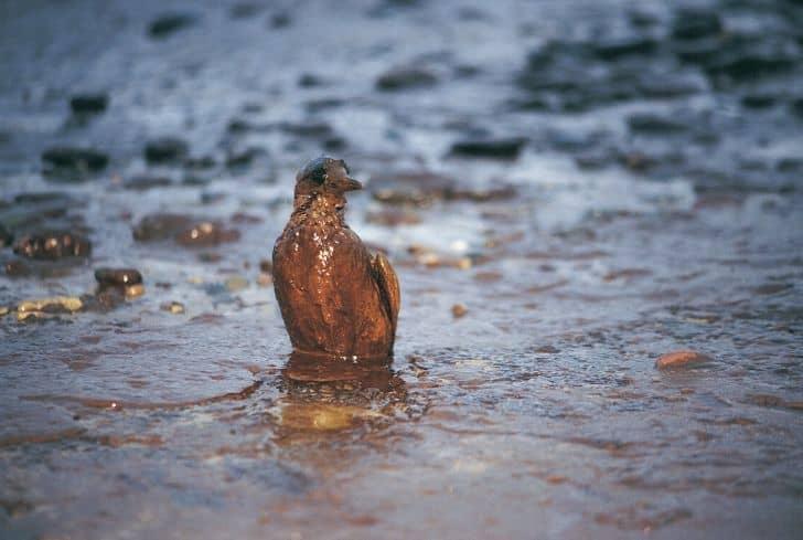 oil-spill-bird-pollution