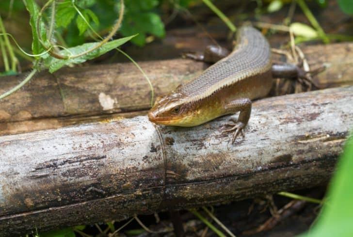 Chinese Salamander