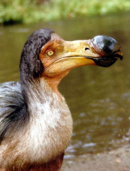 The Little Dodo Bird