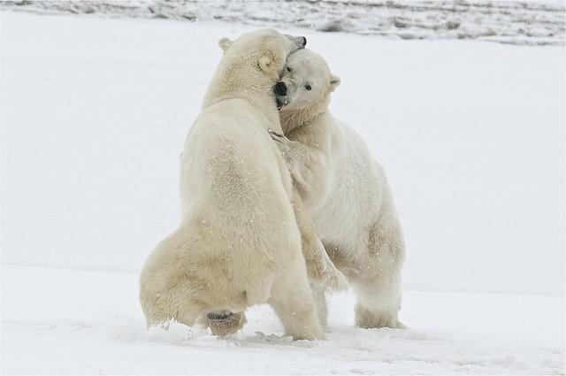 Polar_bear_tundra