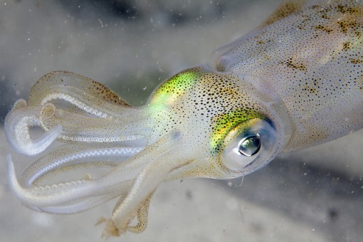 white-squid