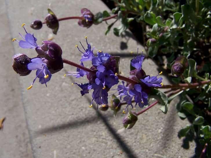 Desert-sage-Salvia dorrii