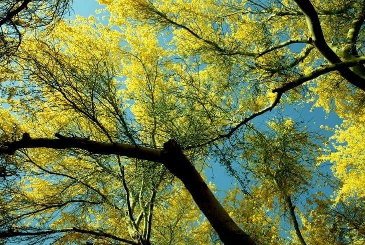 Yellow Paloverde