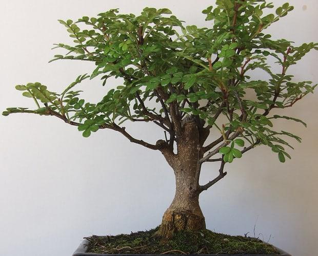 elephant-tree