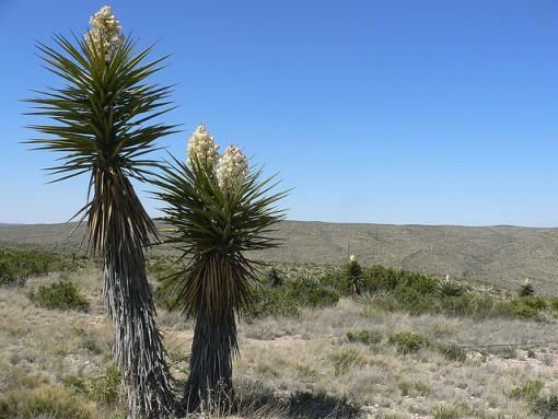 soaptree-yucca