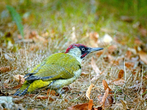 green-woodpecker