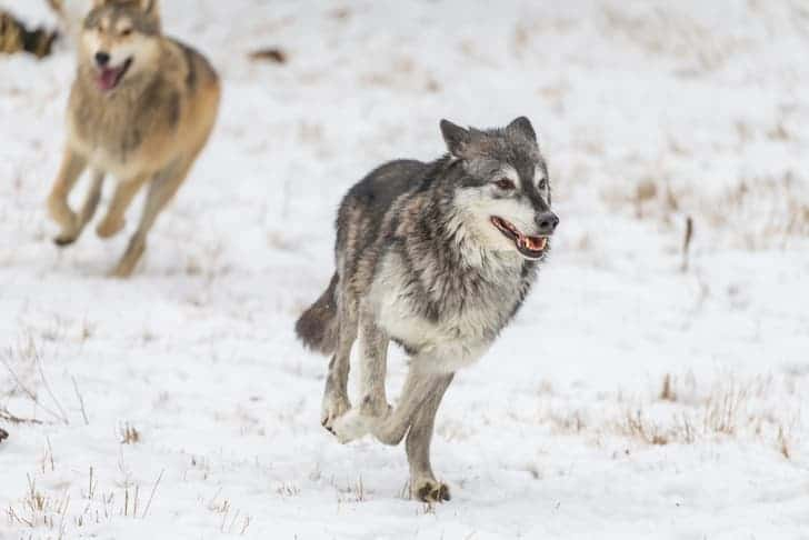 photo-tundra-wolves-in-a-snowy