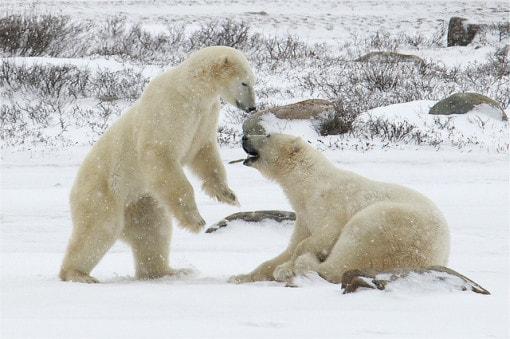 polar-beer-tundra