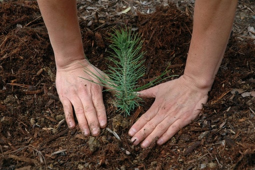 seedling-planting