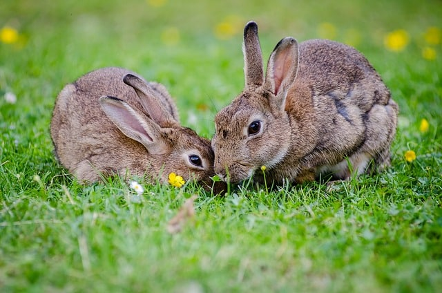 european-rabbits-bunnies-grass