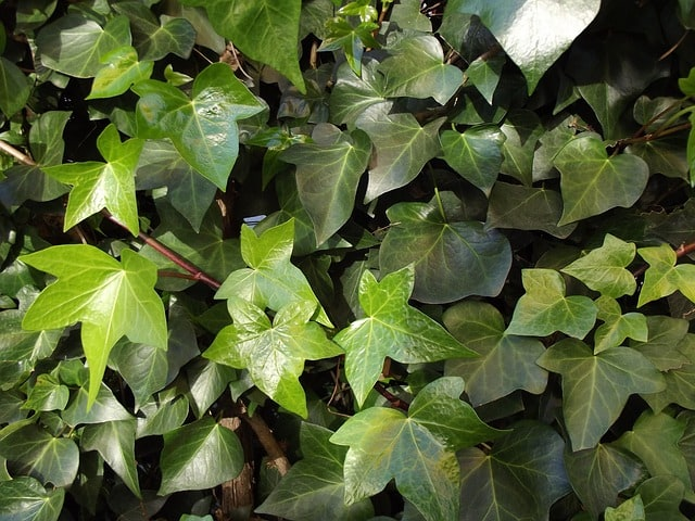ivy-ivy-leaves-climber-hedera-helix