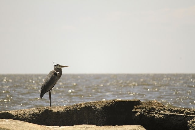 heron-coastal-water-bird-nature-natural-habitat