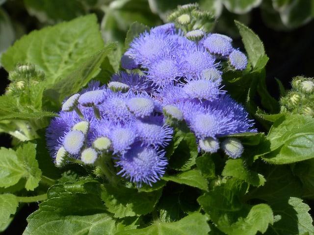 ageratum-houstonianum-blueme-blossom