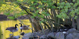 canadian-goose-goose-geese-bird-biodiversity