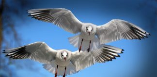 gulls-birds-fly-water-bird