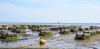 oyster-farm-shellfish-fis-oyster