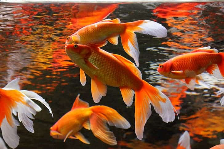 photo-golden-fishes-aquaculture