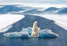 polar-bear-climate-change-bear