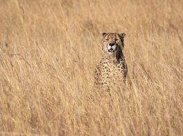 cheetah-standing-on-grasses