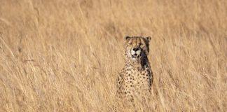 cheetah-standing-on-grasses