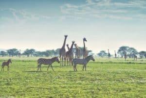 girraffe-zebra-savanna-biome
