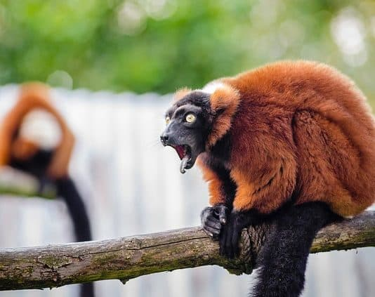 red-ruffed-lemur-wildlife-madagascar