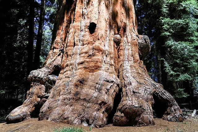 sequioa-tree-sequioa-national-park