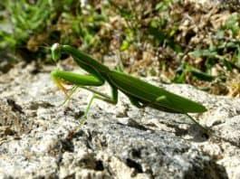 praying-mantis-mantodea-close-up