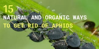 aphids-fabae-insects