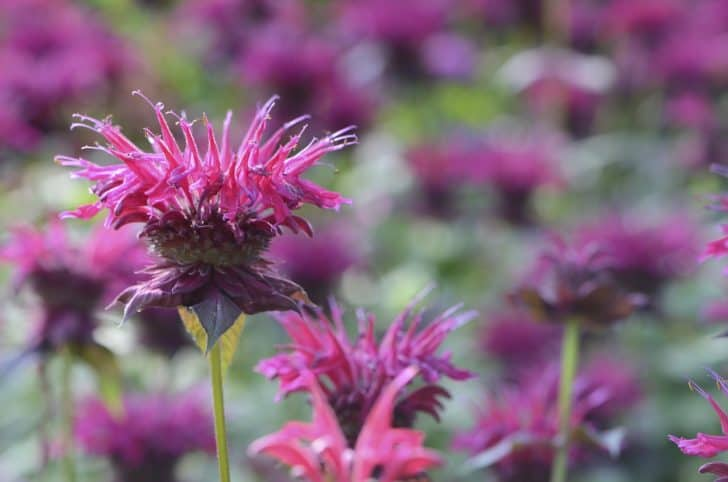 bee-balm-red-august-flower
