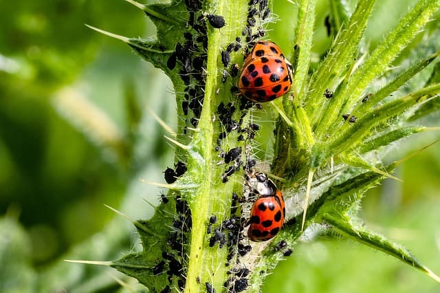 ladybug-asian-ladybug