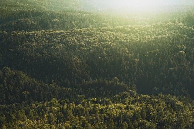 conifer-daylight-evergreen-forest