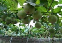 benefits monk fruit