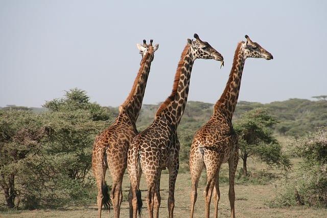 giraffe-africa-tanzania-wild