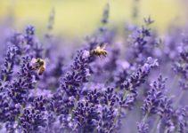 Do Deer Eat Lavender? (And Lavender Bushes?)